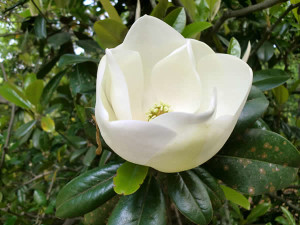 A fragrant magnolia glowed like a star in the Southern sky from Flannery O'Connor's ancient tree on the grounds of her home called Andalusia.