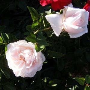 rosevt4